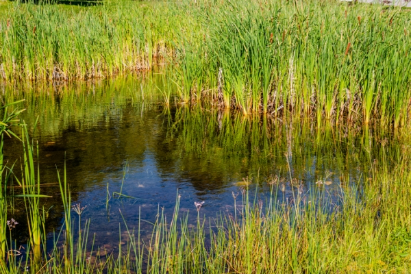 Cattails and bulrushes in a marsh