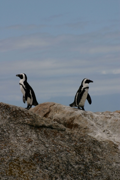 Two african penguins on a rock