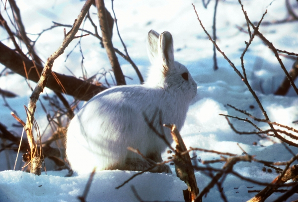 Arctic Hare Blending In With Snow