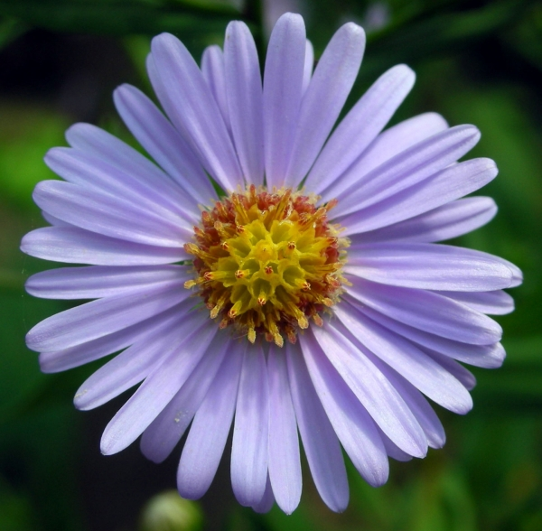 An Aster in bloom