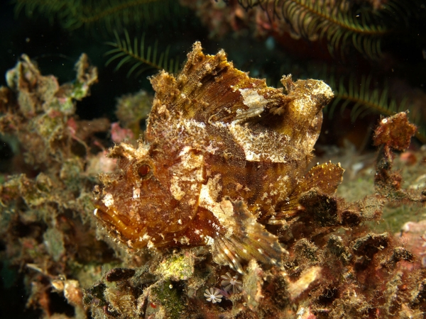 Leaf Scorpion Fish Blending in With Plants