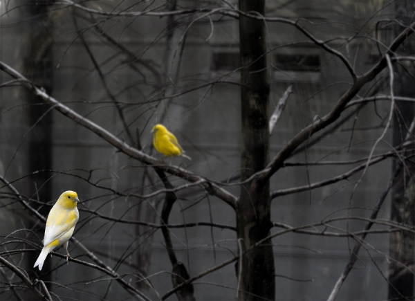 Two FInches on the branches of a tree