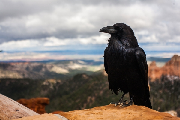 A raven with mountains in the background
